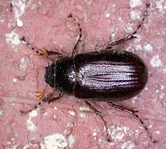 240px-Phyllophaga_spPCCP20040419-4076A2